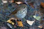 Hermit thrush in Late October