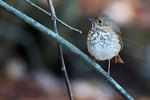 Hermit thrush haiku in late October