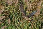 Northern harrier flight after bath