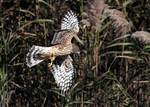 Northern harrier flight in salt marsh habitat