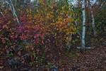 Gray birches and November foliage