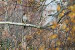 Juvenile Cooper's hawk in mid-November landscape