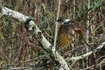 Yellow shafted flicker flight in birch woods
