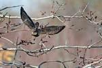 Juvenile sharp-shinned hawk in flight