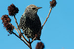 European starling foraging on sumac berries