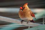 Backyard female cardinal