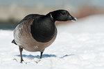Atlantic brant goose in foraging in February snow