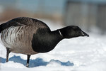Atlantic brant close-up in winter
