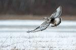 Light phase rough-legged hawk with prey