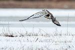 Light-phase rough-legged hawk in flight