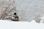 Canada goose hunkers down in snow storm