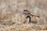 Female American kestrel flight with mouse prey