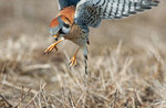 Male American kestrel pouncing
