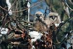 Great horned owl chicks in mid-March