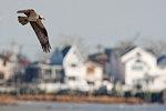 Osprey flight in urban environment