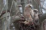 Great-horned owl chicks in early April