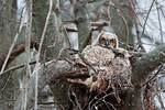 Great-horned owl nest with young in early April