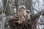 Great horned owl nestlings