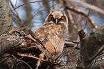 Great-horned owl chick in mid-April