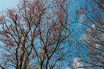 Flowering swamp maples in late April