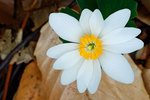 Bloodroot in early April woods