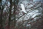 Great egret flight with flowering swamp maple in late April