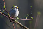 Whit-throated sparrow in late April