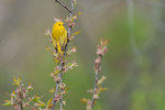 Male yellow warbler in new spring growth