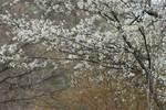 Flowering shadbush in spring