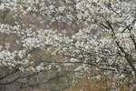 Shadbush flowering in late April