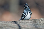 Black and white warbler in late April