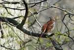 Brown thrasher in late April woods