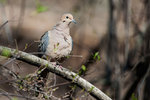 Mourning dove in early spring