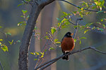 American robin at dawn