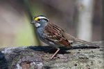 White-throated sparrow in early spring woodland