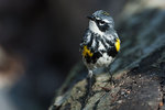 Male yellow-rumped warbler in late April