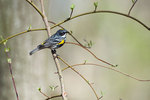 Yellow-rumped warbler in new spring growth