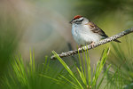 Chipping sparrow in early May