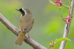 Common yellowthroat in early May