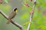 Male common yellowthroat in spring migration