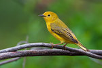 Female yellow warbler in early May