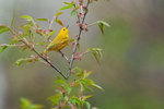 Male yellow warbler in early May