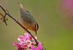 Worm-eating warbler during spring migration
