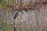 Black-crowned night heron in spring wetland