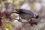 Gray catbird foraging in sumac bush