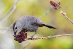 Gray catbird eating sumac berries in early May