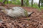Dead brown thrasher