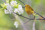 Female yellow warbler and beach plum blossoms