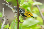 Black-throated green warbler in May