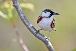 Chestnut sided warbler in spring migration
